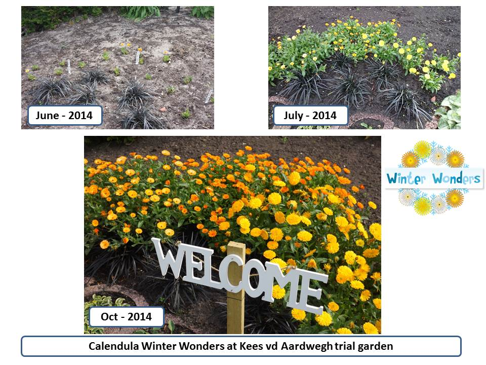 Calendula Winter Wonders - Trial garden