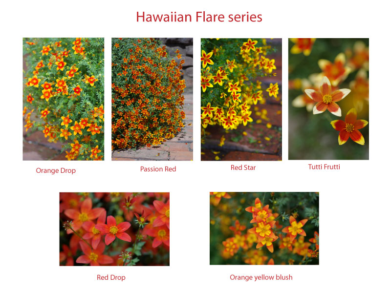 Hawaiianflarevarieties