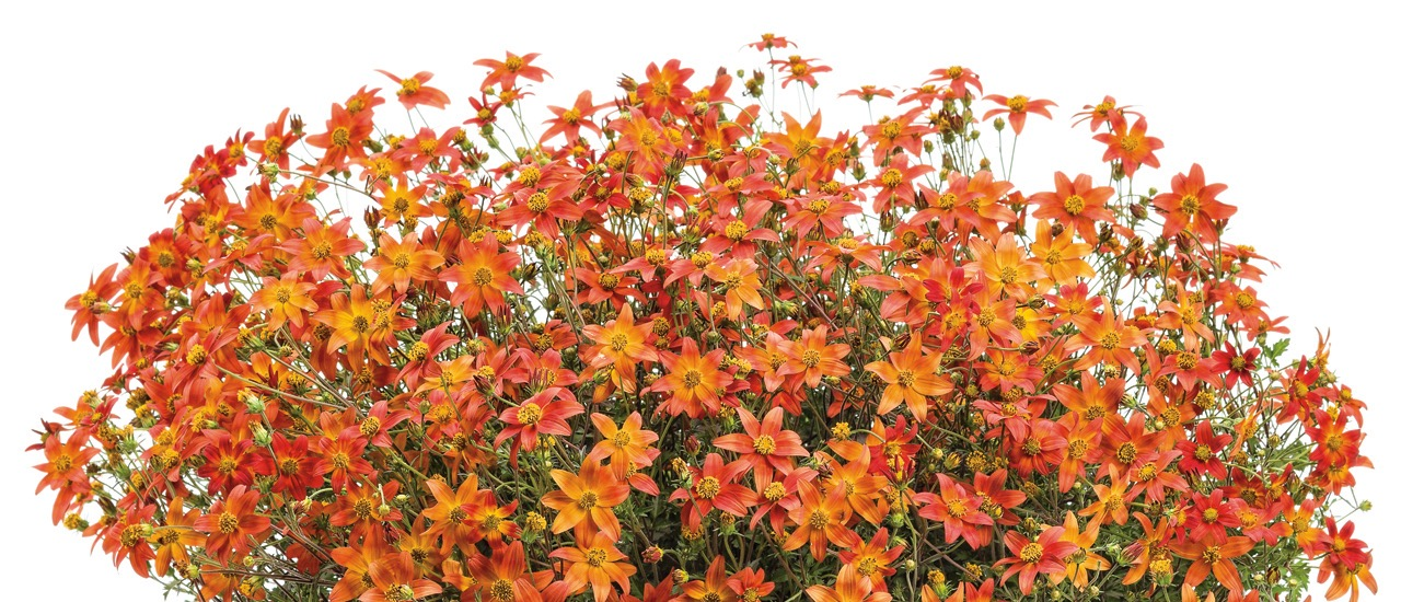 """Campfire™Fireburst"" will come from Proven Winners"