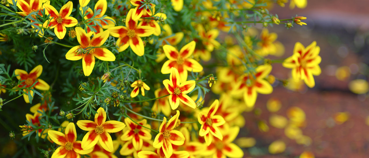 The first red Bidens in the world.