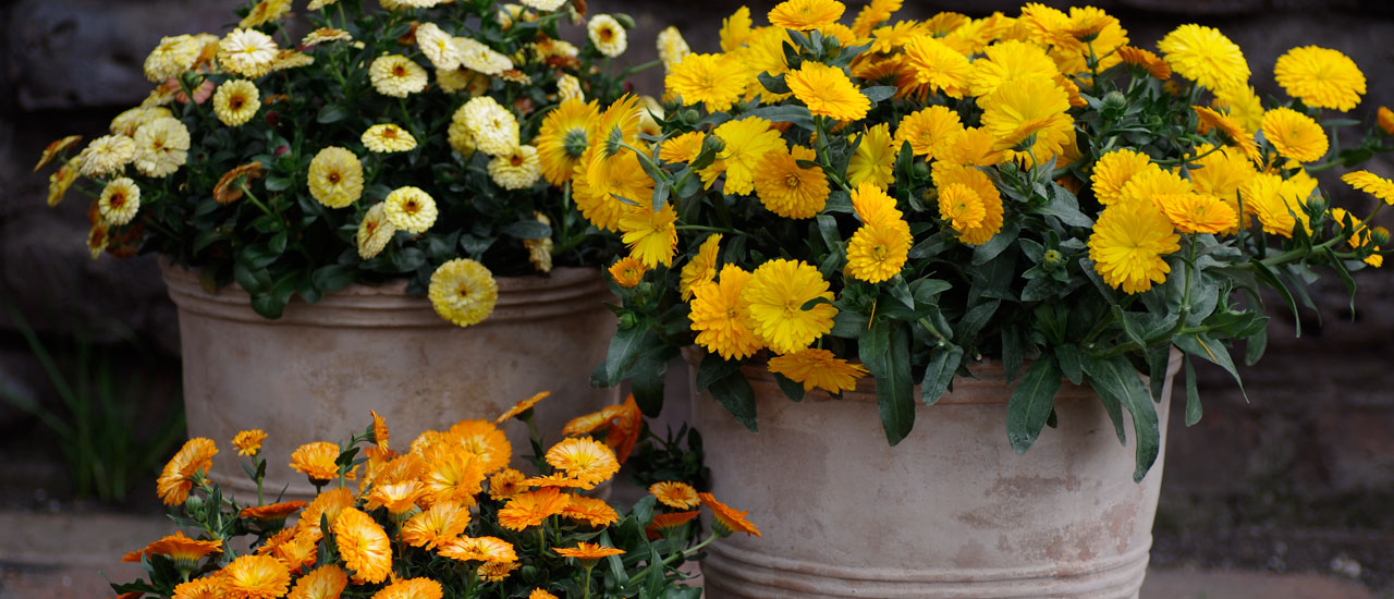 Do you want bright flowers in winter?
